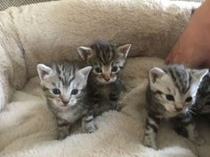 Maine Coon Cross Cats For Sale Below is the list of available cats. Cats For Sale, Maine Coon, Animals, Animales, Animaux, Animal, Animais