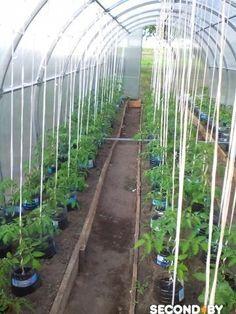 «Банки 5 — литровые, у них отрезан низ и вверх, низ прикопан на 5 см в землю, а в банку насыпаю плодородной земли и сажаю. Затея классная, корни не вымываются, а идут под банками, полив только в банки, подкормка только для растения идет ,влажности в парнике меньше и фитофторы меньше, вокруг банок суха и полоть … Hydroponic Gardening, Aquaponics, Container Gardening, Fruit Garden, Garden Plants, Pvc Greenhouse, Cement Flower Pots, Shade House, Pond Design