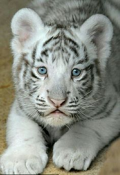 Cute tiger cub Edited by LouLou 💗 Cute Funny Animals, Cute Baby Animals, Animals And Pets, Cute Cats, Funny Cats, Beautiful Cats, Animals Beautiful, White Tiger Cubs, Baby White Tiger