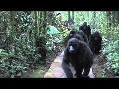 Gorillas Pet Tourist In Uganda (VIDEO)