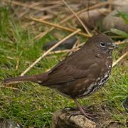 """Fox Sparrow. Note smooth brown upper and its habits: it scratches on the ground with both feet, kicking up the soil to peck around for bugs. Yellow bill. Underbelly is densely speckled all the way under. Dark spot or """"X"""" at the centre upper breast."""