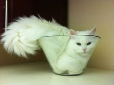 hahah awww. i've always wanted a fluffy white kitty.