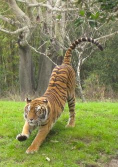 Tiger Stretch Stock by Skylanth Beautiful Cats, Animals Beautiful, Cute Animals, Wild Animals, Baby Animals, Tiger Pictures, Animal Pictures, Big Cats, Cool Cats