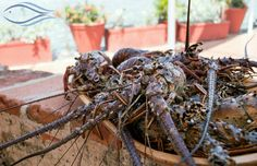 frescas langostas traídas por nuestros pescadores artesanales.