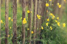 Blumen gelb, Pflanze, Zaun, Zaun, Natur, Makro Vektorgrafik