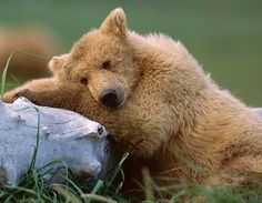 Grizzly Teddy bear taking a nap