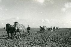 Noordoostpolder. Het ploegen met paarden. Bron: Fotocollectie Nieuw Land. Directie Wieringermeer, Doorn van.