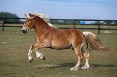 Afbeeldingsresultaat voor haflinger paard