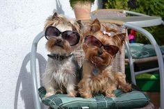 Yorkie, Yorkshire Terrier, Dog #yorkshireterrier