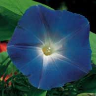 Click through for Birds & Blooms Top 10 plants for a red, white, and blue garden