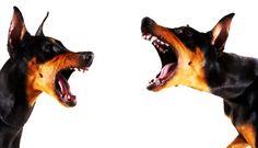 Cão que ladra não morde. / Chien qui aboit ne mord pas. / Dogs that barks does not bite.