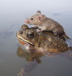 In a show of bonhomie between little creatures, a rat, which was caught in the middle of a small pond on the outskirts of Lucknow in Uttar P. Pet Mice, Pet Rats, Animals And Pets, Baby Animals, Cute Animals, Friendship Photography, Frog And Toad, Funny Cute, Beautiful Creatures