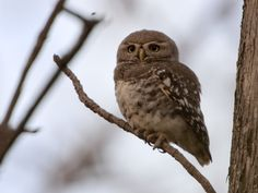 The Forest Owlet (Athene blewitti) is endemic to the forests of central India. After it was described in 1873 and last seen in the wild in 1884, it was considered extinct until it was rediscovered 113 years later in 1997. It is known from a small number of localities and the populations are very low within the fragmented and shrinking forests of central India. The Forest Owlet remains critically endangered, and the current population has been estimated at less than 250.