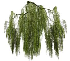 Weeping willow branch cut-out by Simbores.deviantart.com on @DeviantArt