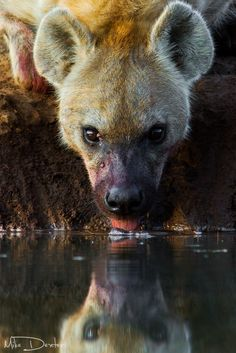 Hyena drink by Mike Dexter on 500px