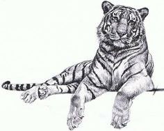 Pencil Drawings of Tigers | by Rebecca Martian » Wed Nov 12, 2008 11:18 pm
