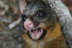 Predator Free New Zealand by 2050 Behavioural Ecology, John Key, Killing Rats, Research Scientist, Opossum, Pet Health, Predator, Conservation, Kangaroo
