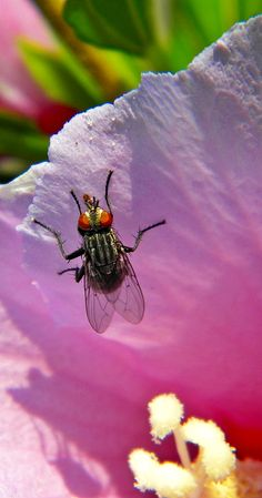 Fly on a Rose of Sharon~cl