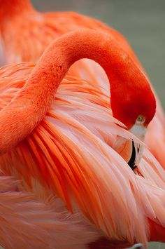 Caribbean Flamingo, San Diego Zoo - ©Sam Scholes - www.flickr.com/photos/pictobox/7367570410/