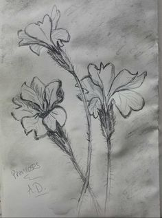 5 minute sketch... primroses #growjune #thedailysketch