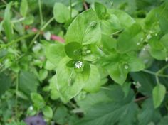 http://www.wildalaskaplantmedicine.com/?p=76  Chickweed healing or just staying healthy. Great salad additive