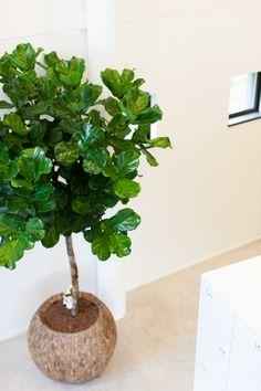 Ficus lyrata op stam in Cemani Bowl
