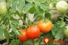 Within two months of plunking tomato seedlings in the ground, the fruit should be filling out and starting to turn color. Tomato Pruning, Tomato Seedlings, Tomato Plants, Organic Gardening, Gardening Tips, Vegetable Gardening, Compost, Rabbit Garden, Modern Farmer
