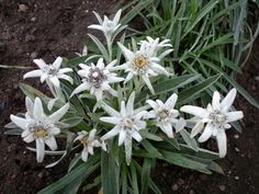 Kolibri kertészet - Havasi gyopár Edelweiss, Diy And Crafts, Rose, Plants, Flowers, Florals, Cards, Pink, Roses