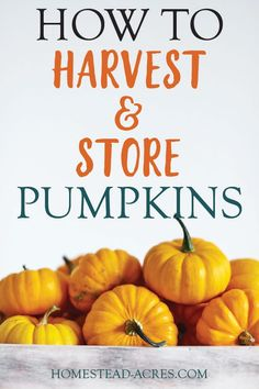 The best tips on how to harvest pumpkins in your garden. How to tell when a pumpkin is ripe, how to cure pumpkins, and tips for storing pumpkins for winter. Growing Winter Vegetables, Organic Gardening Tips, Vegetable Gardening, Sustainable Gardening, Sustainable Living, Fruit Party, Best Fruits, Grow Your Own Food, Grow Food