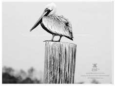 Pretty Pelican Photo in graphic Black & White by theRDBcollection.com, $24.00 | Photo by Renee Dent Blankenship