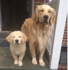 Majestic Golden Retriever dog and puppy