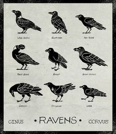 thingsintubes and I have been confessing our love of corvids to each other lately. These are all the currently living species of ravens.  -- yonderbeasties