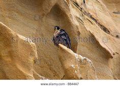 Usa - California - San Diego - Peregrine Falcon Perched At Torrey ...