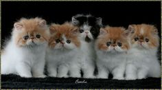 Persian Cat For Sale Persian Kittens Puppies And Kitties, Cute Cats And Kittens, Kittens Cutest, Pictures Of Persian Cats, Kitten Wallpaper, Persian Kittens, Cats For Sale, Tier Fotos, Fluffy Cat