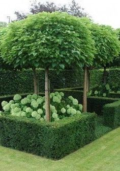 "Great clipped hedge ""boxes"" with hydrangeas and pruned trees."