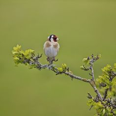 Goldfinch In Spring - Lanteglos, Fowey, Cornwall.   Flickr - Photo Sharing!