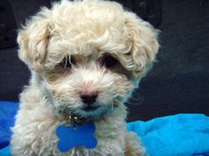 Need Help With Dog-related Issues? This Article Is For You – Info About The Dog Animals And Pets, Cute Animals, Poodle Mix, Poodle Puppies, Teddy Bear Dog, Purebred Dogs, Losing A Dog, Training Your Dog, Dog Owners