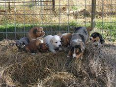 Farm collie/Farm Shepherd dog photo | Scotch Collie Puppies Available » Scotch Collie Puppies