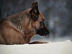Faszinierende Augenblicke mit dem Deutschen Schäferhund | Dog Luxury