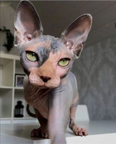 13 Convincingly Cute Sphynx Cats - Belezza,animales , salud animal y mas Pretty Cats, Beautiful Cats, Animals Beautiful, Cute Baby Animals, Animals And Pets, Cute Hairless Cat, Chat Sphynx, Photo Chat, Cat Aesthetic