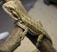 cutest lizard ever. The Bearded Dragon Dragon Pet, Bearded Dragon Habitat, Bearded Dragon Cage, Bearded Dragon Care Sheet, Discount Pet Supplies, Pet Lizards, Reptiles And Amphibians, Large Dogs, Animales