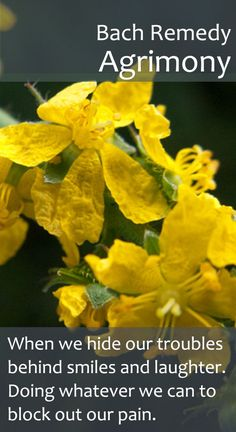 Bach Flower Remedy - Agrimony - Particularly indicated for those who supress their worries by over eating or drinking. Healing Herbs, Medicinal Herbs, Natural Healing, Homeopathic Remedies, Natural Remedies, Reiki, Elixir Floral, Bach Flowers, Herbal Medicine