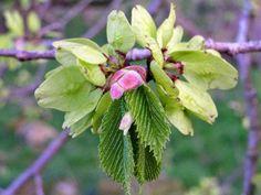 English Wych Elm | Wych Elm leaves and buds