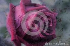 Rose Background With Texture. - Download From Over 46 Million High Quality Stock Photos, Images, Vectors. Sign up for FREE today. Image: 73785371