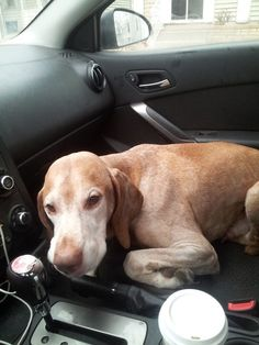 Is This Your Dog? - St Paul - Vizsla? - Male  Date Found: 01-28-2015 2:00 PM Breed of Dog: vizsla? not sure. City where found: Saint Paul Nearest intersection: Lexington and Stinson Zip Code: 55103  Found running across Lexington on 3 legs. Opened my car door and he jumped right in. Very shaky and skinny but friendly. Vet said he has a dislocated hip. Where is the dog being held?: Feist Contact's name: Aly Contact's Phone Number: (651) 278-1612 Contact's E-mail: alysonslarson@gmail.com