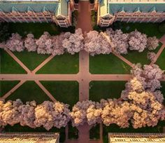 The University of Washington in Seattle proves cherry blossoms are pretty from any angle.   Cherry Blossoms Are Starting To Bloom And Australia Is Massively Missing Out