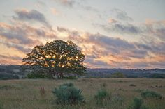 Sunrise Oak Western Fine Art Landscape Photography Texas Hill Country Ancient Oak Rustic Home Decor Ranch House Southwestern Style Wall Art
