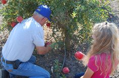 Pomegranate Farming in California. Passing on the tradition of excellence and family heritage.