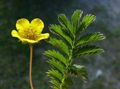 Ketohanhikki, Potentilla anserina - Kukkakasvit - LuontoPortti