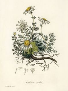Remedies To Relief Pain The Best Herbs for Pain Relief—Aromatherapists use chamomile essential oil to promote relaxation and pain relief. Check out the link for more natural pain relief solutions. Art And Illustration, Art Illustrations, Botanical Tattoo, Botanical Drawings, Botanical Art, Botanical Science, Botanical Flowers, Vintage Botanical Prints, Art Deco Posters